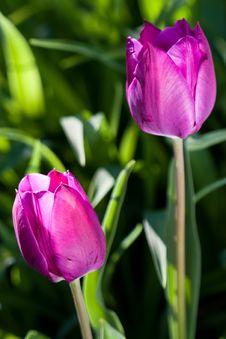 Free Tulip Stock Photo - 14846990