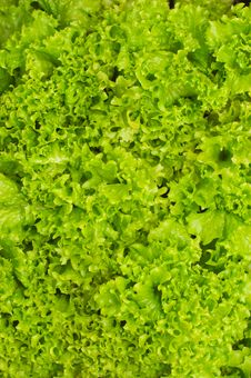 Free Lettuce Stock Images - 14847594
