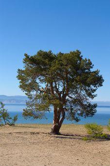 Free Pine Stock Photography - 14847652