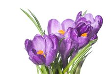 Free Crocus Bouquet With Water Drops Isolated On White Stock Photo - 14848140