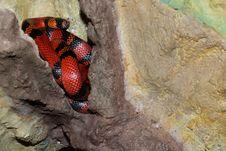 Honduran Milk Snake Or Kingsnake Royalty Free Stock Photo