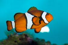 Ocellaris Clownfish In Aquarium Royalty Free Stock Images