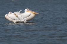 Two Great White Pelicans Stock Photo