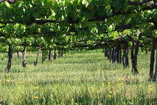 Free Vineyard Royalty Free Stock Photos - 14848868