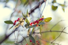 Free Branch With Red Berries Stock Photos - 14849343