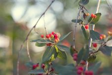 Free Branch With Red Berries Royalty Free Stock Photo - 14849345