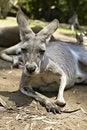 Free Gentle Kangaroo Lying On The Ground Royalty Free Stock Photos - 14850908