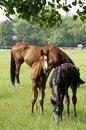Free Horses Family Royalty Free Stock Photos - 14855928