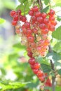 Free Red Currant Royalty Free Stock Image - 14857606