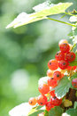 Free Red Currant Royalty Free Stock Photos - 14857618
