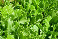 Free Green Lettuce Salad Stock Photos - 14859863