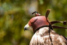 Free Falcon Hood Stock Photography - 14850192