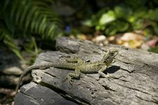 Free Lizard Sunbathing On The Log Royalty Free Stock Photography - 14850897