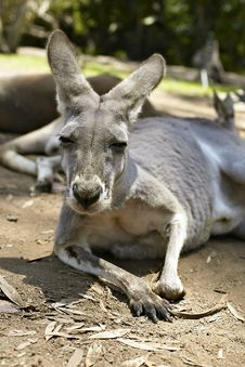 Free Gentle Kangaroo Lying On The Ground Royalty Free Stock Photos - 14850908