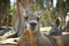 Free Kangaroo With A Big Snout Stock Image - 14850911