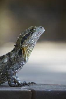 Free Portrait Of The Monitor Lizard Stock Image - 14850921