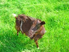 Free Goat Stock Photos - 14851713
