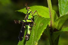 Free Grasshopper Royalty Free Stock Photos - 14852388