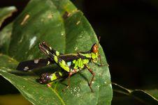 Free Grasshopper Stock Photography - 14852402