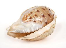 Free Ocean Cockleshell Isolated On White Stock Images - 14852504