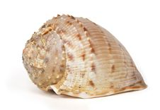 Free Ocean Cockleshell Isolated On White Stock Photo - 14852510
