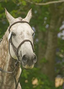 Free Portrait Of A Gray Horse. Royalty Free Stock Photos - 14852528