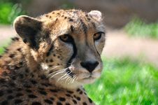 Free Cheetah. Royalty Free Stock Photos - 14853578