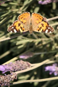 Butterfly Painted Lady Or Monarch Stock Photo
