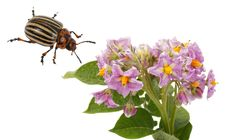 Flowering Potato And Colorado Beetle Stock Photography