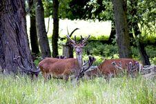 Free Deers Royalty Free Stock Image - 14854446