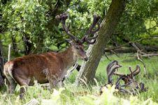 Free Deers Stock Photos - 14854513