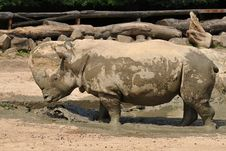 Rhino At Watering Place Royalty Free Stock Image