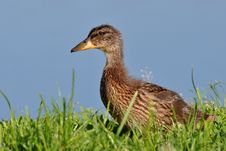 Free Chick Of Mallard Royalty Free Stock Photography - 14854657