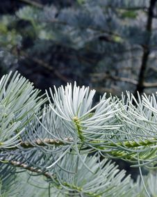 Free Close-up Of Pine Needles Royalty Free Stock Image - 14854856