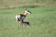 Free Pronghorn Doe And Fawn Stock Photography - 14855362