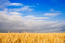 Free Golden Wheat Royalty Free Stock Image - 14855946