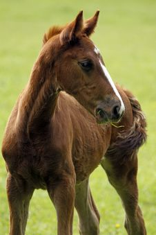 Free Young Horse Royalty Free Stock Image - 14855966