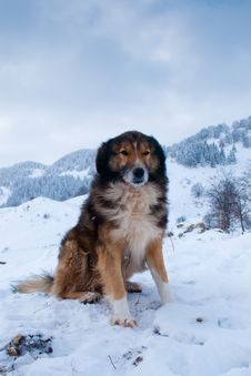 Sheepdog, Shepherd Dog In Winter Royalty Free Stock Image