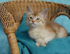Free Sorrel Silver Somali Kitten Stock Images - 14857084