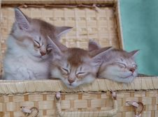 Free Basket Of Somali Kittens Royalty Free Stock Photography - 14857127