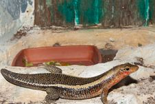 Free Sudan Plated Lizard In Terrarium Stock Images - 14857194