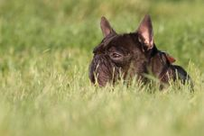 Free French Bulldog In Field Royalty Free Stock Images - 14858089