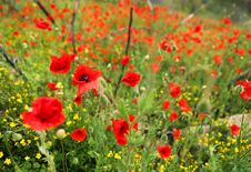 Free Field Of Poppies Royalty Free Stock Image - 14858376