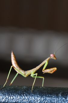 Free Baby Praying Mantis Royalty Free Stock Photography - 14858927