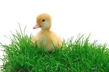 Free Duck In Grass Royalty Free Stock Photography - 14859327
