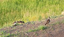 Free Female Lapwing With Young Ones Royalty Free Stock Image - 14859616