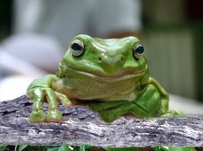 Free Green Tree Frog Royalty Free Stock Photography - 14859697