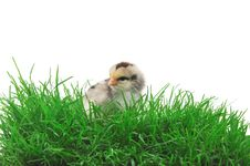 Free Chick In Grass Stock Photo - 14859930