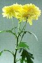 Free Yellow Chrysanthemums Stock Photography - 14861582