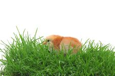 Free Chick In Grass Royalty Free Stock Photo - 14860195